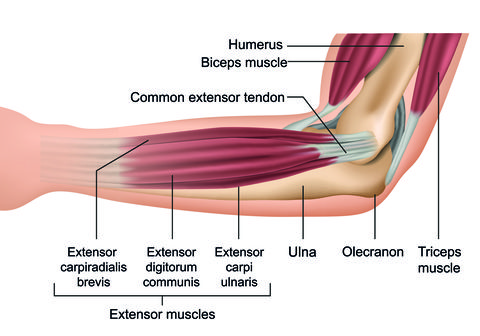 anatomy of wrist and forearm muscles