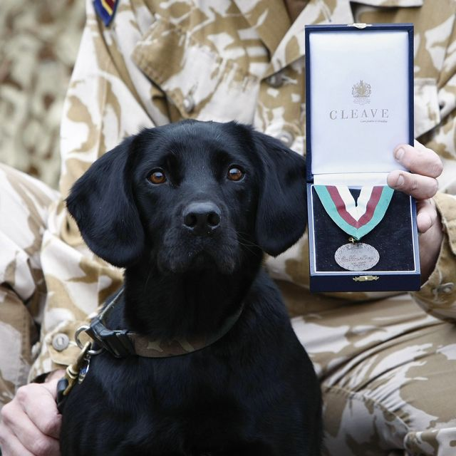 Arms and Explosives Search Dog 'Treo' an