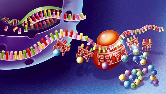 dibujo de la traslación del adn en arn mensajero en el núcleo
