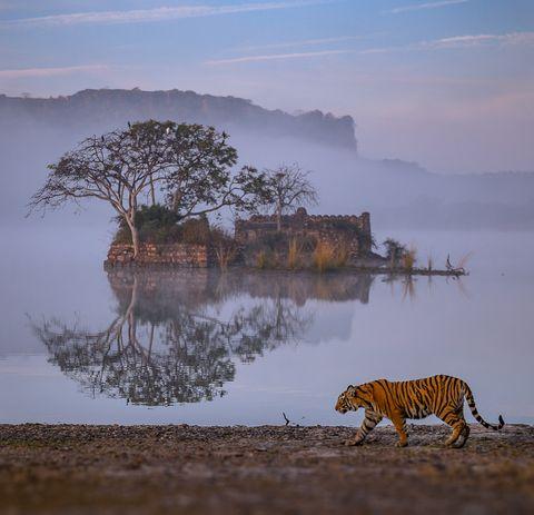 Wildlife, Reflection, Natural landscape, Felidae, Atmospheric phenomenon, Sky, Morning, Water, Tree, Calm,