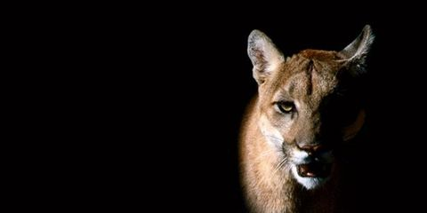 Brown, Big cats, Felidae, Puma, Jaw, Cougar, Terrestrial animal, Carnivore, Whiskers, Snout,