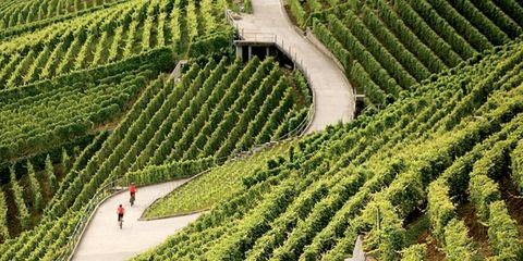 Agriculture, Plantation, Garden, Landscape, Farm, Shrub, Field, Botany, Hedge, Groundcover,