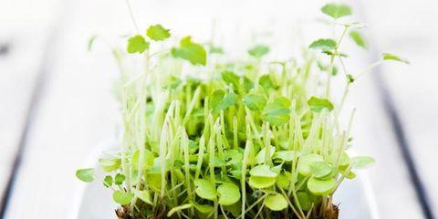 Green, Leaf, Ingredient, Flowerpot, Terrestrial plant, Plant stem, Annual plant, Interior design, Sprouting, Houseplant,