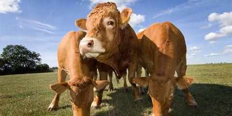 grass-fed cows