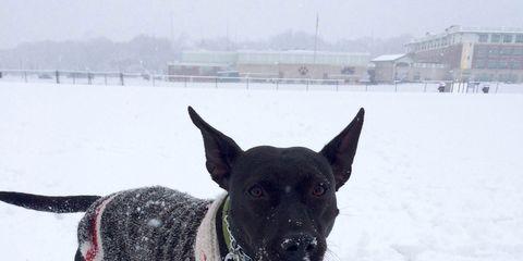 Dog breed, Winter, Collar, Dog, Freezing, Snow, Carnivore, Sporting Group, Dog supply, Dog collar,