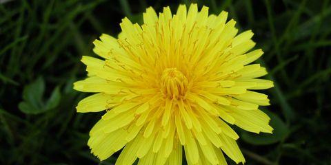 Yellow, Plant, Flower, Petal, Botany, Flowering plant, dandelion, Pedicel, Dandelion, Sow thistles,