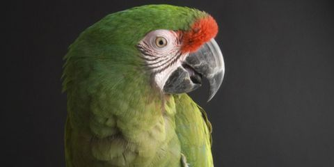 Military macaws, like this one, live an average of 60 years.