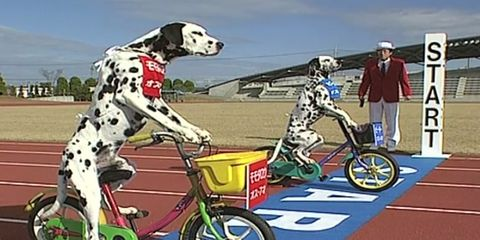 Two dogs race bicycles for a Guinness World Record