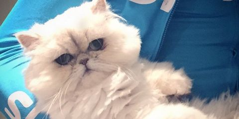Coco Froome, a long haired Persian cat, being held by her owner, Chris
