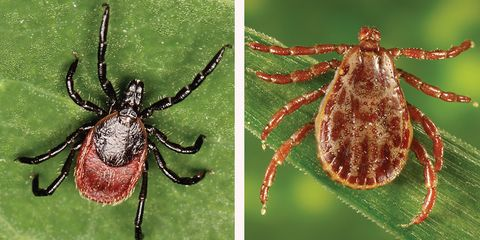 Know your ticks: a wood tick and a deer tick.