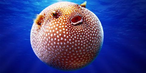 Puffer Fish Bloated