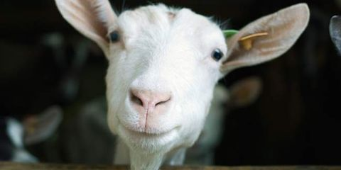 goats and goat cheese