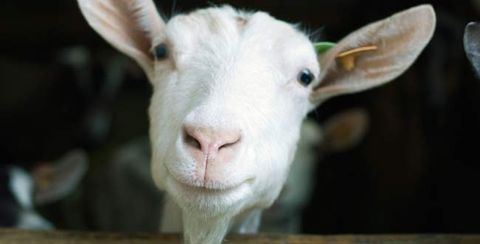 6 Reasons You Should Switch to Goat Cheese | Prevention