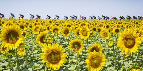 2015 Tour de France Stage 13 sunflowers