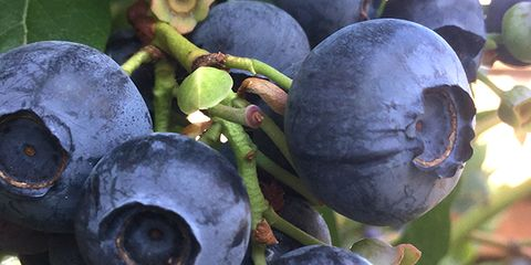 Produce, Natural foods, Fruit, Whole food, Fruit tree, Superfood, Blueberry, Cypress family, Sphere, Conifer,