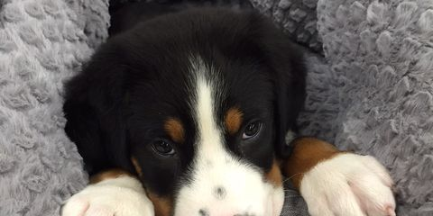 Dog breed, Dog, Vertebrate, Carnivore, Mammal, Iris, Snout, Comfort, Fur, Bernese mountain dog,