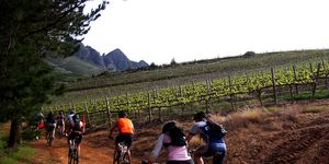 Cyclists riding through vineyard