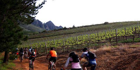 Cyclists riding through vineyard