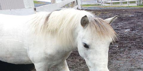 Vertebrate, Horse, White, Mammal, Terrestrial animal, Snout, Organ, Working animal, Neck, Eyelash,