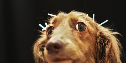 Acupuncture could benefit your pet under the right circumstances.