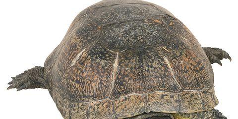 Organism, Skin, Adaptation, Reptile, Organ, Terrestrial animal, Beauty, Grey, Tortoise, Snout,
