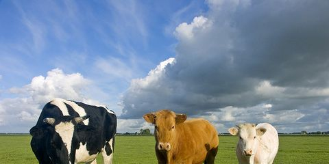 Grass, Pasture, Natural environment, Cloud, Vertebrate, Bovine, Grassland, Natural landscape, Landscape, Terrestrial animal,