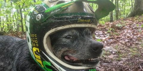Derby the Australian Cattle Dog lives with two ultra-running, mountain biking humans, who say he covers more miles on the trail per week than most people drive.