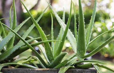 5 Beauty Benefits of Using Aloe Vera on Your Skin