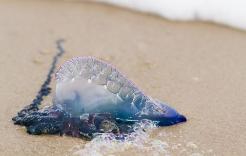 how to treat a jellyfish sting men s health