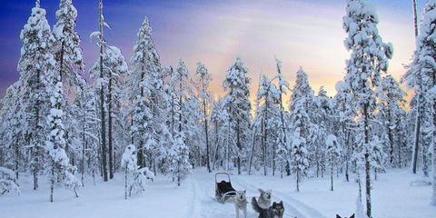 Sled dogs.
