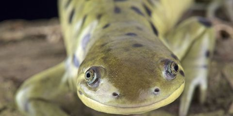 horny salamander study