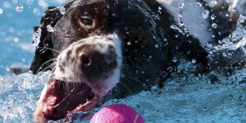 Dog breed, Fluid, Liquid, Dog, Vertebrate, Carnivore, Snout, Sporting Group, Tongue, Hunting dog,