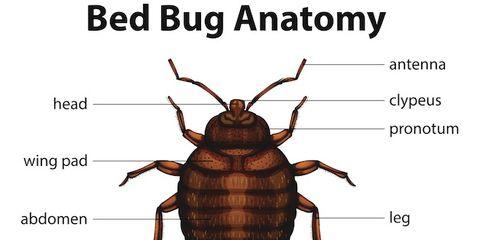 Invertebrate, Arthropod, Organism, Brown, Insect, Text, Pest, Line, Amber, Organ,