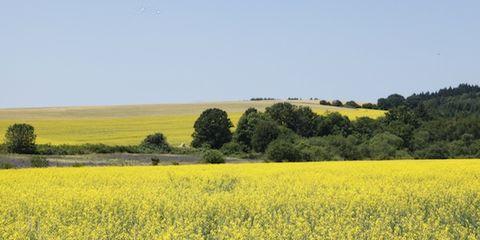 Natural environment, Yellow, Agriculture, Natural landscape, Field, Plant community, Plain, Landscape, Farm, Grassland,