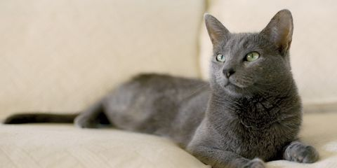 Whiskers, Cat, Carnivore, Small to medium-sized cats, Felidae, Comfort, Snout, Chartreux, Grey, Terrestrial animal,