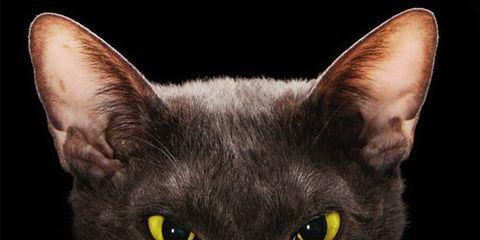 Organism, Whiskers, Vertebrate, Felidae, Carnivore, Cat, Small to medium-sized cats, Iris, Snout, Organ,