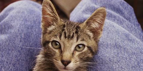 Skin, Whiskers, Felidae, Small to medium-sized cats, Cat, Vertebrate, Carnivore, Iris, Snout, Beige,
