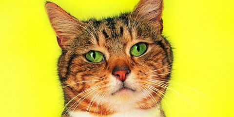 Small to medium-sized cats, Whiskers, Felidae, Vertebrate, Carnivore, Cat, Iris, Snout, Kitten, Domestic short-haired cat,