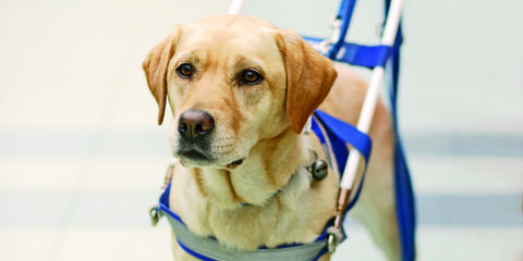 training and raising service dogs