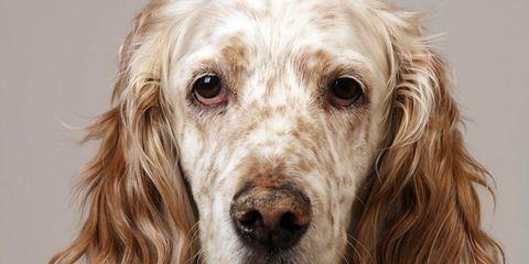 Dog, Carnivore, Dog breed, Snout, Liver, Terrestrial animal, Sporting Group, Blond, Fur, Companion dog,