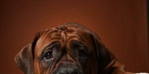 Brown, Dog, Carnivore, Dog breed, Wrinkle, Black, Snout, Tan, Fawn, Shar pei,
