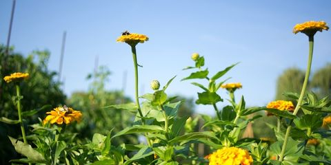 Yellow, Plant, Flower, Petal, Herbaceous plant, Wildflower, Daisy family, Annual plant, Pedicel, Asterales,