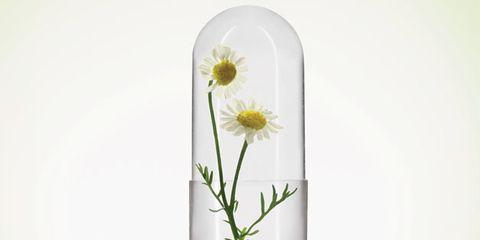 Flower, Petal, Botany, Flowering plant, camomile, Plant stem, Pedicel, Daisy family, Wildflower, Asterales,