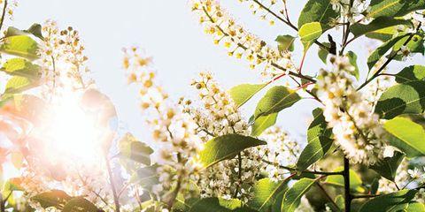 Flower, Sunlight, Flowering plant, Spring, Twig, Shrub, Lens flare, Plant stem, Buckthorn family, Backlighting,