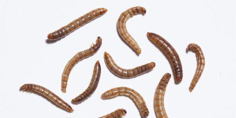 Brown, Organism, Amber, Ingredient, Tan, Invertebrate, Worm, Insect, Zophobas morio, Earthworm,