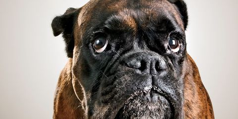 Brown, Skin, Carnivore, Dog, Mammal, Wrinkle, Snout, Fawn, Dog breed, Whiskers,
