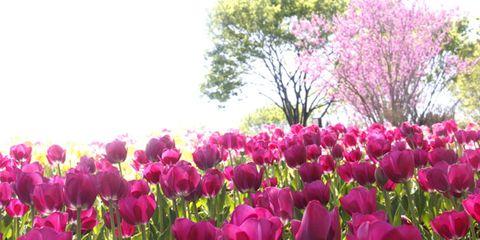 Vegetation, Petal, Flower, Purple, Magenta, Plant community, Pink, Natural landscape, Botany, Flowering plant,
