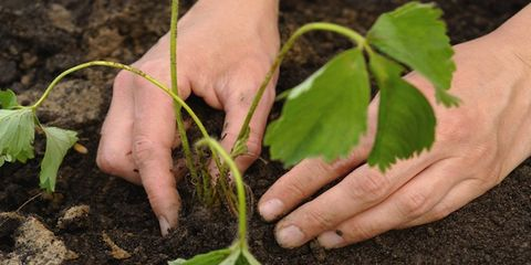 Finger, Leaf, Soil, People in nature, Thumb, Annual plant, Produce, Herb, Plant stem, Gardening,