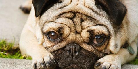 Skin, Dog, Vertebrate, Carnivore, Mammal, Dog breed, Snout, Wrinkle, Pug, Fawn,