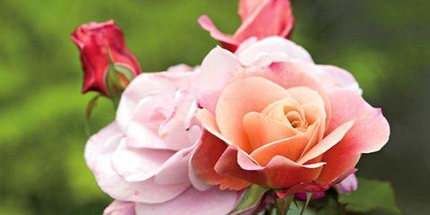 Petal, Flower, Red, Pink, Botany, Flowering plant, Rose family, Peach, Rose, Garden roses,